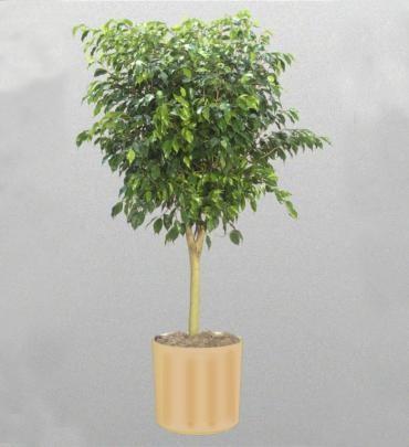 tanaman hias pembersih udara dalam ruangan - Beringin ficus benjamina