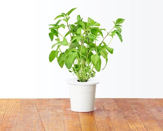 tanaman hias pembersih udara dalam ruangan - basil atau kemangi A
