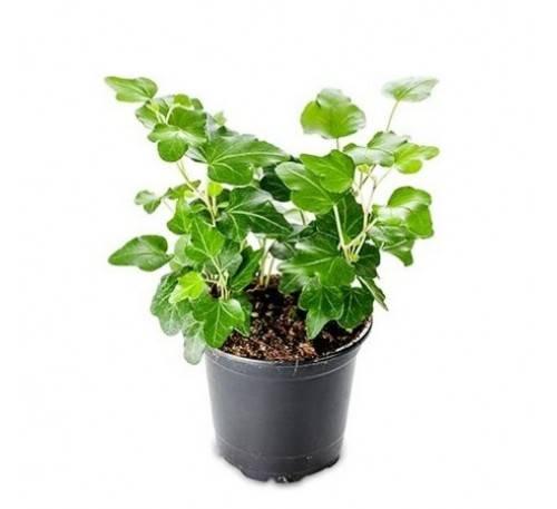tanaman hias pembersih udara dalam ruangan - english ivy a hedera helix