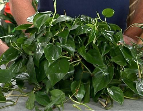 tanaman hias pembersih udara dalam ruangan - heartleaf philodendron atau philodendron oxycardium A