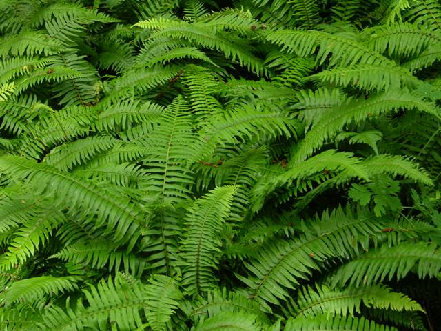 tanaman hias pembersih udara dalam ruangan - pakis pedang Polystichum munitum A