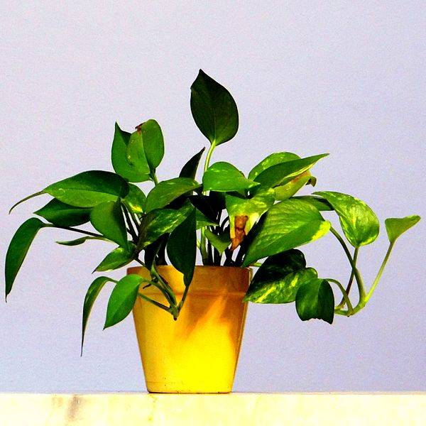 tanaman hias pembersih udara dalam ruangan - sirih gading Epipremnum aureum