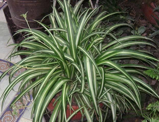 tanaman hias pembersih udara dalam ruangan - spider plant Chlorophytum comosum