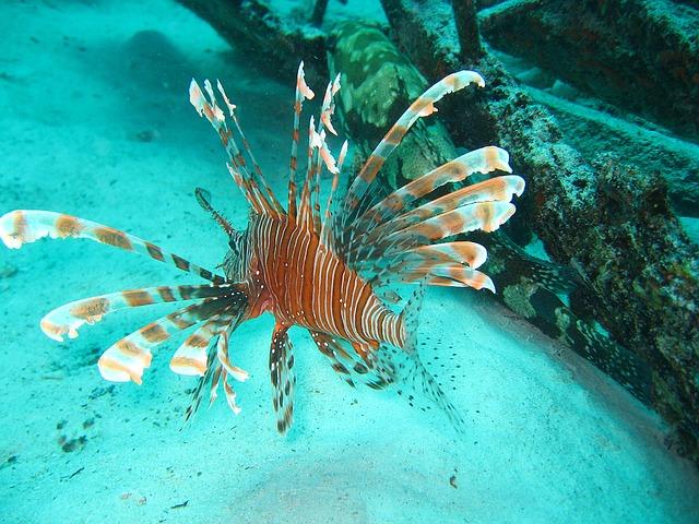 lion fish atau ikan singa yang indah tapi beracun 3