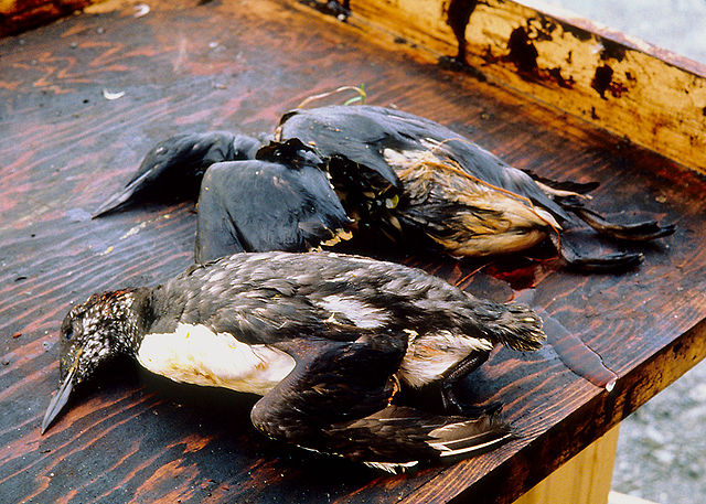 burung laut korban tragedi exxon valdez