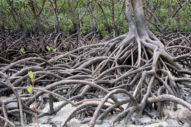 Manfaat Hutan Bakau (Mangrove) Bagi Kehidupan