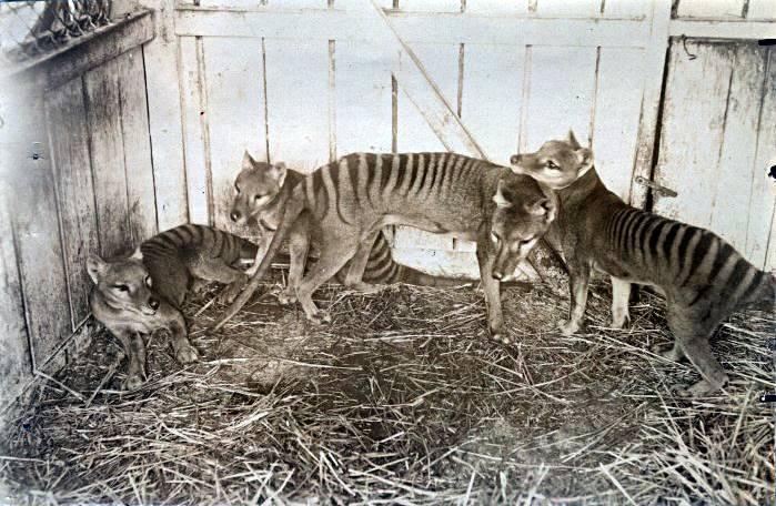 [PUNAH] Harimau Tasmania : Berloreng Dan Berkantung Sekaligus